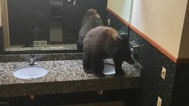 Bear takes a nap in the women's toilet in a café